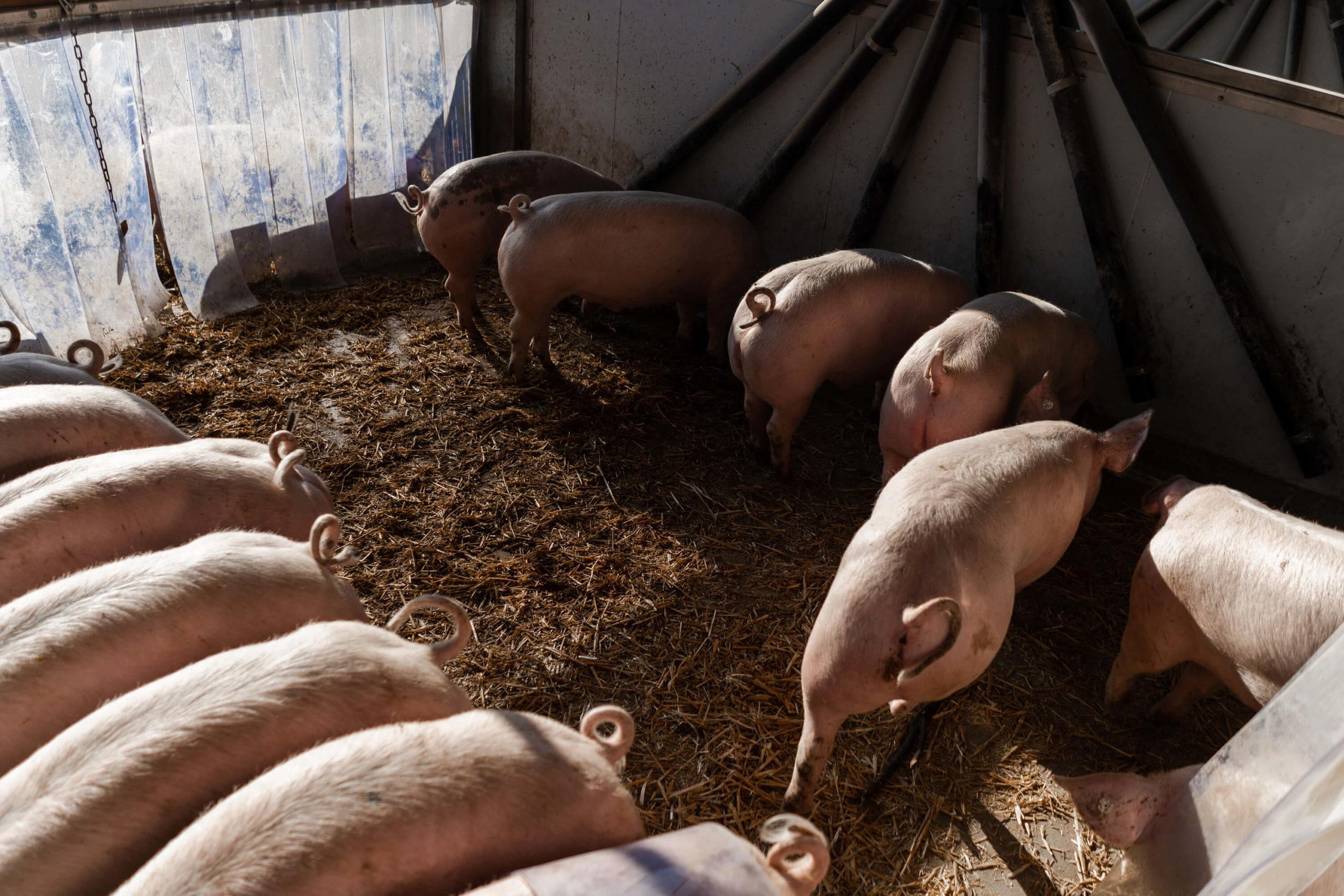Schweine mit Ringelschwanz | Niederrheiner Strohschwein