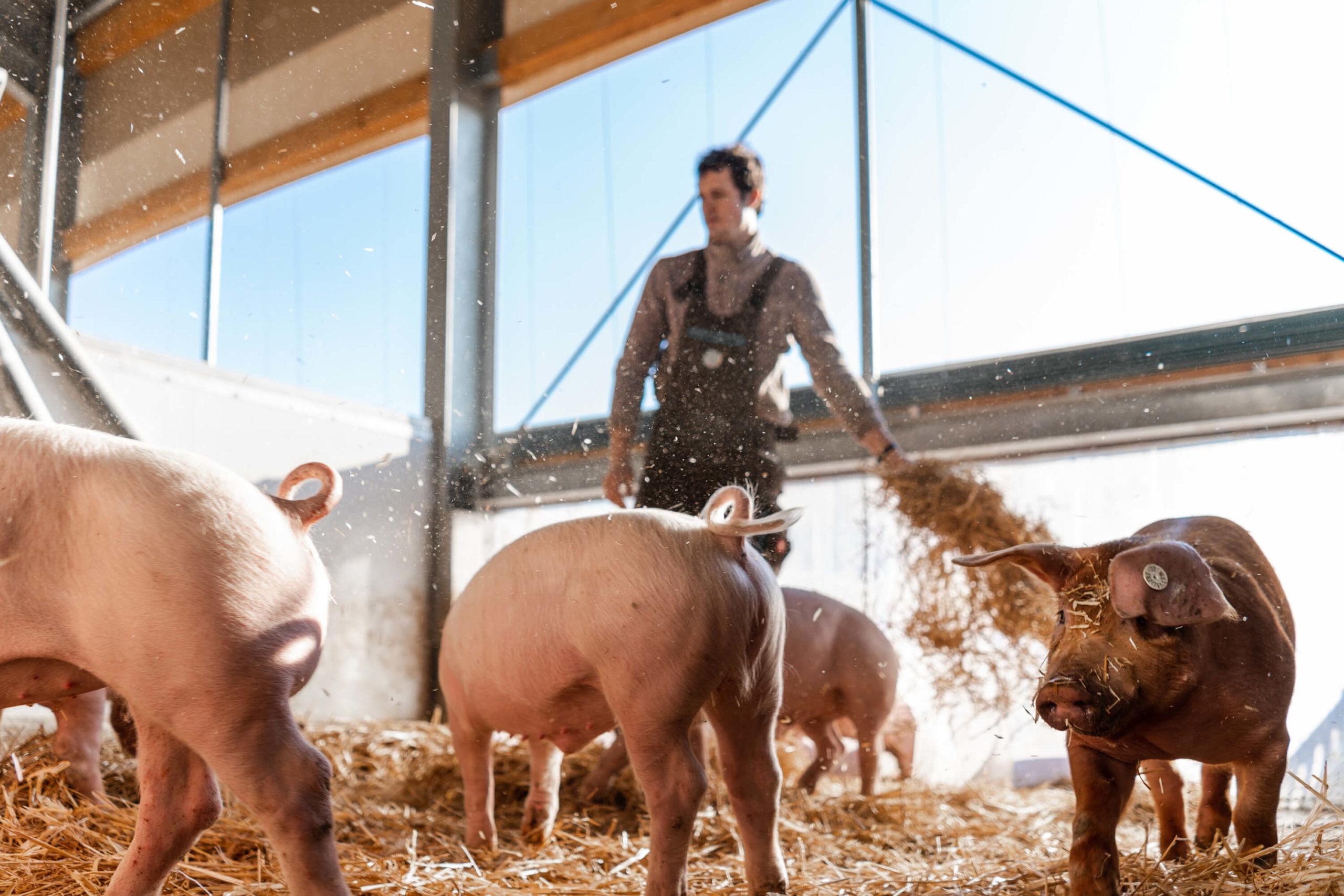 Intensiver Mensch-Tier-Kontakt | Niederrheiner Strohschwein