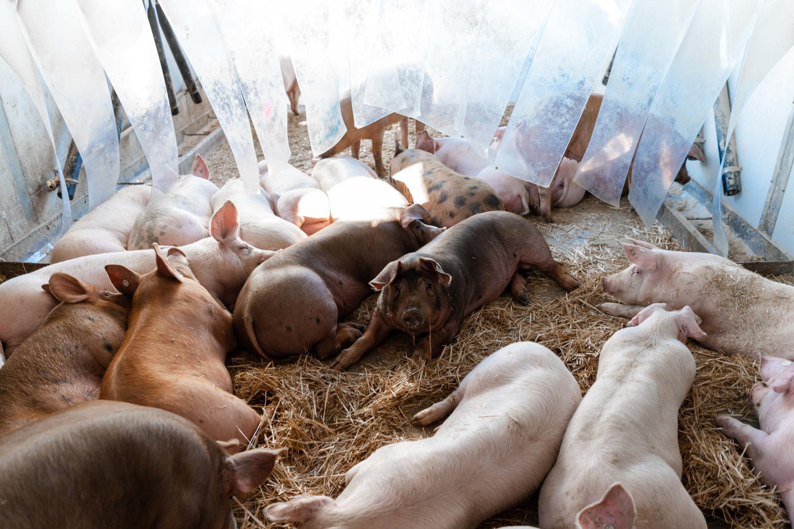 Glückliche Schweine | Niederrheiner Strohschwein
