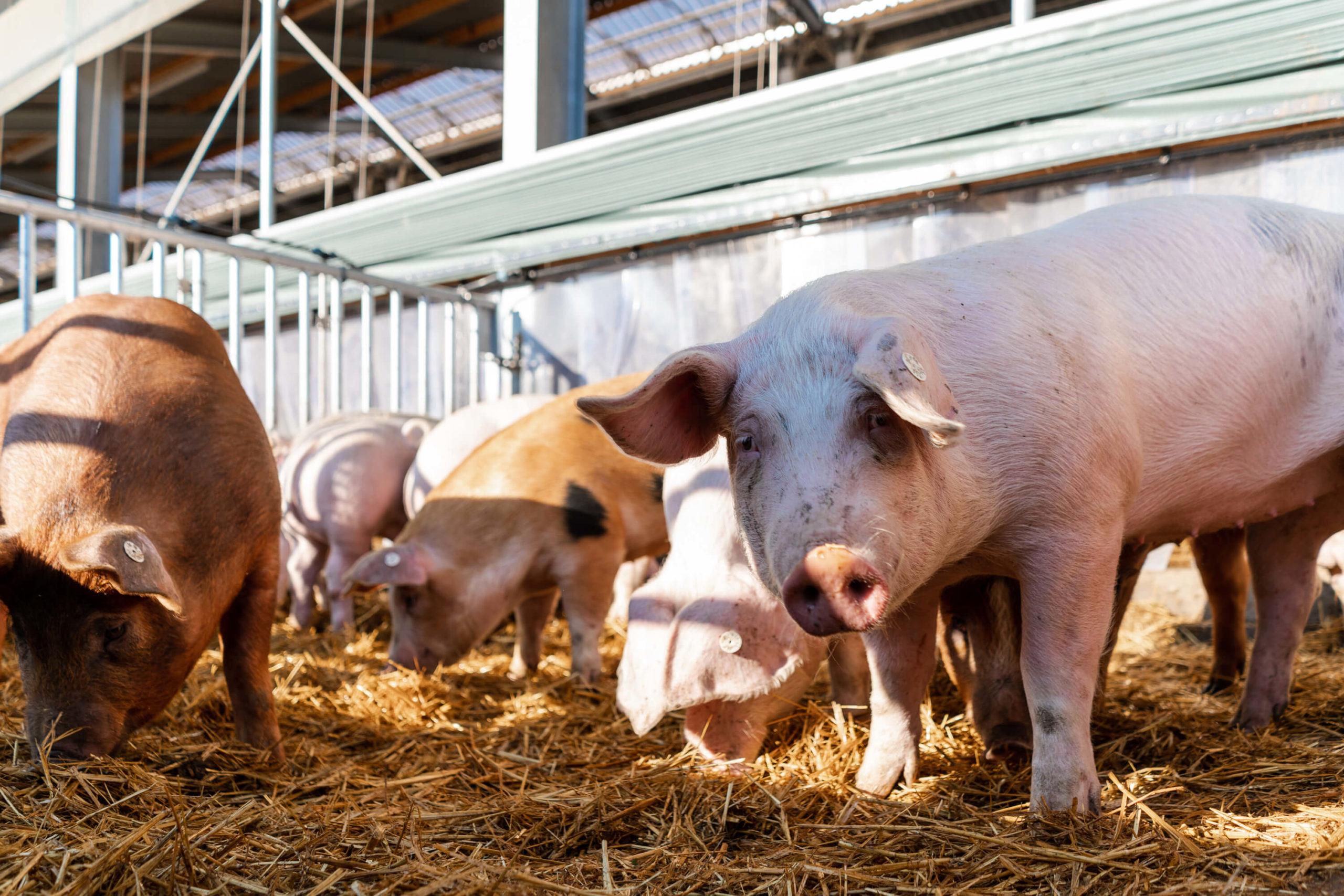 Großzügiger Auslauf für die Schweine | Niederrheiner Strohschwein