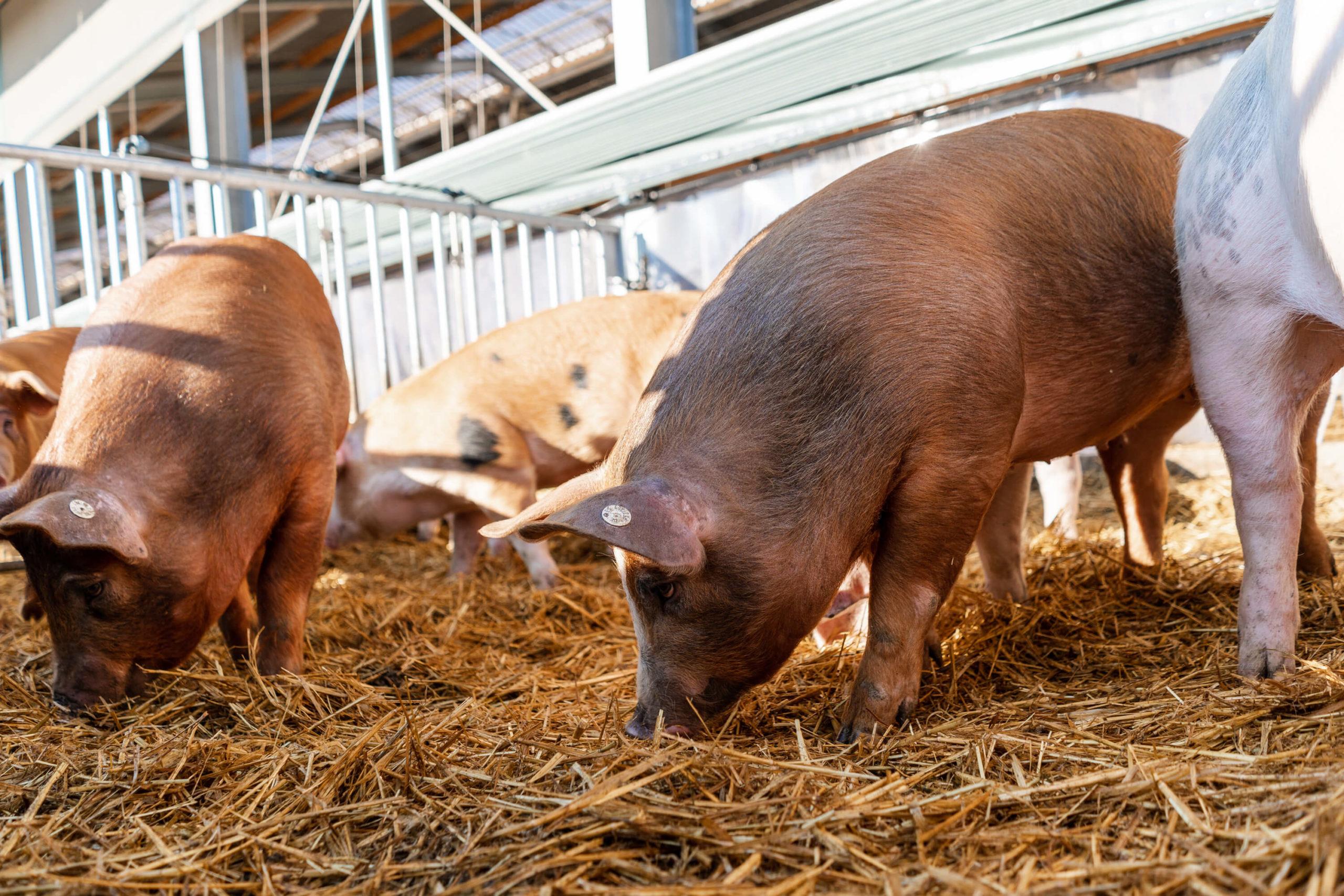 Maststall mit Außenklima | Niederrheiner Strohschwein