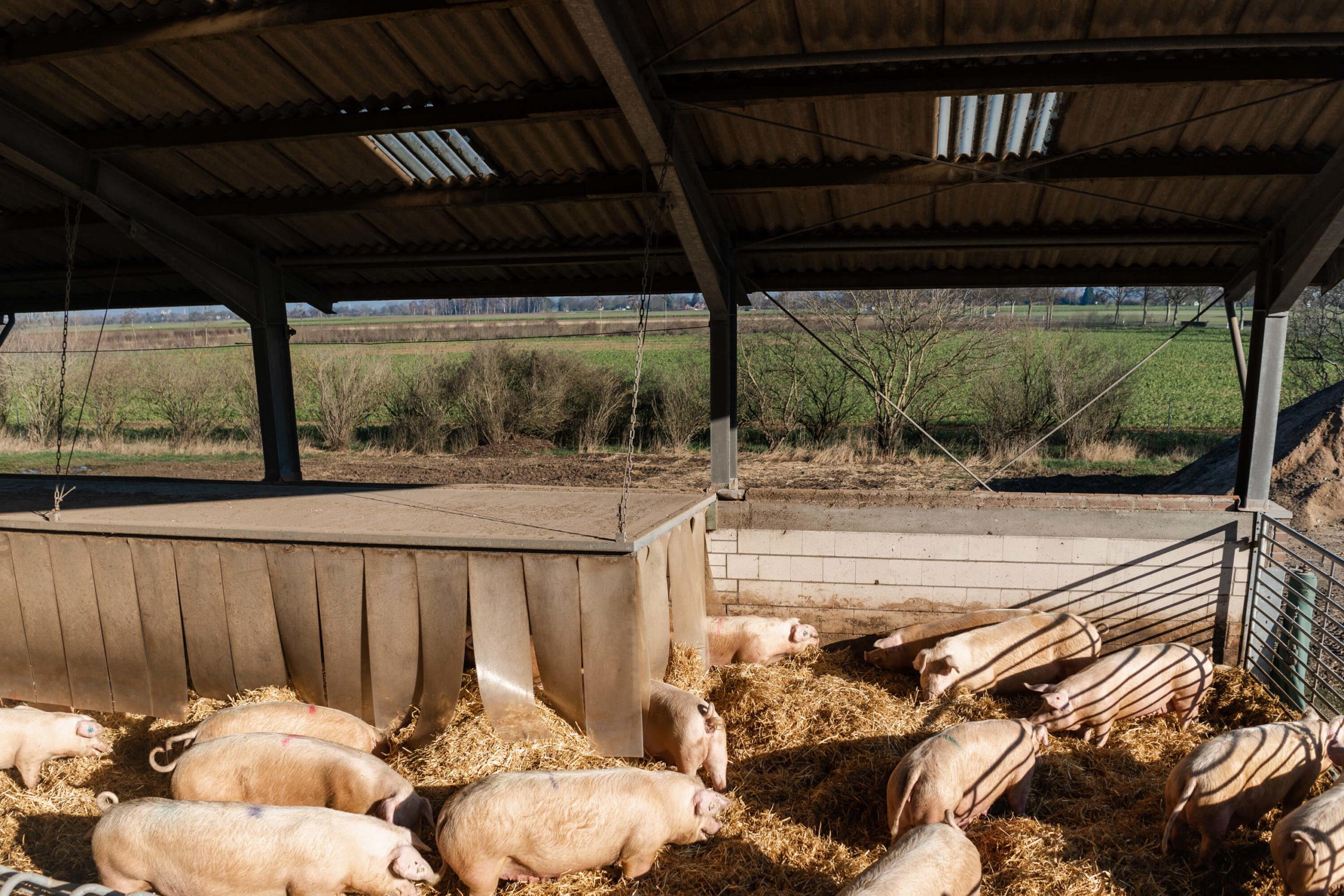 Schweinehaltung auf Stroh | Niederrheiner Strohschwein