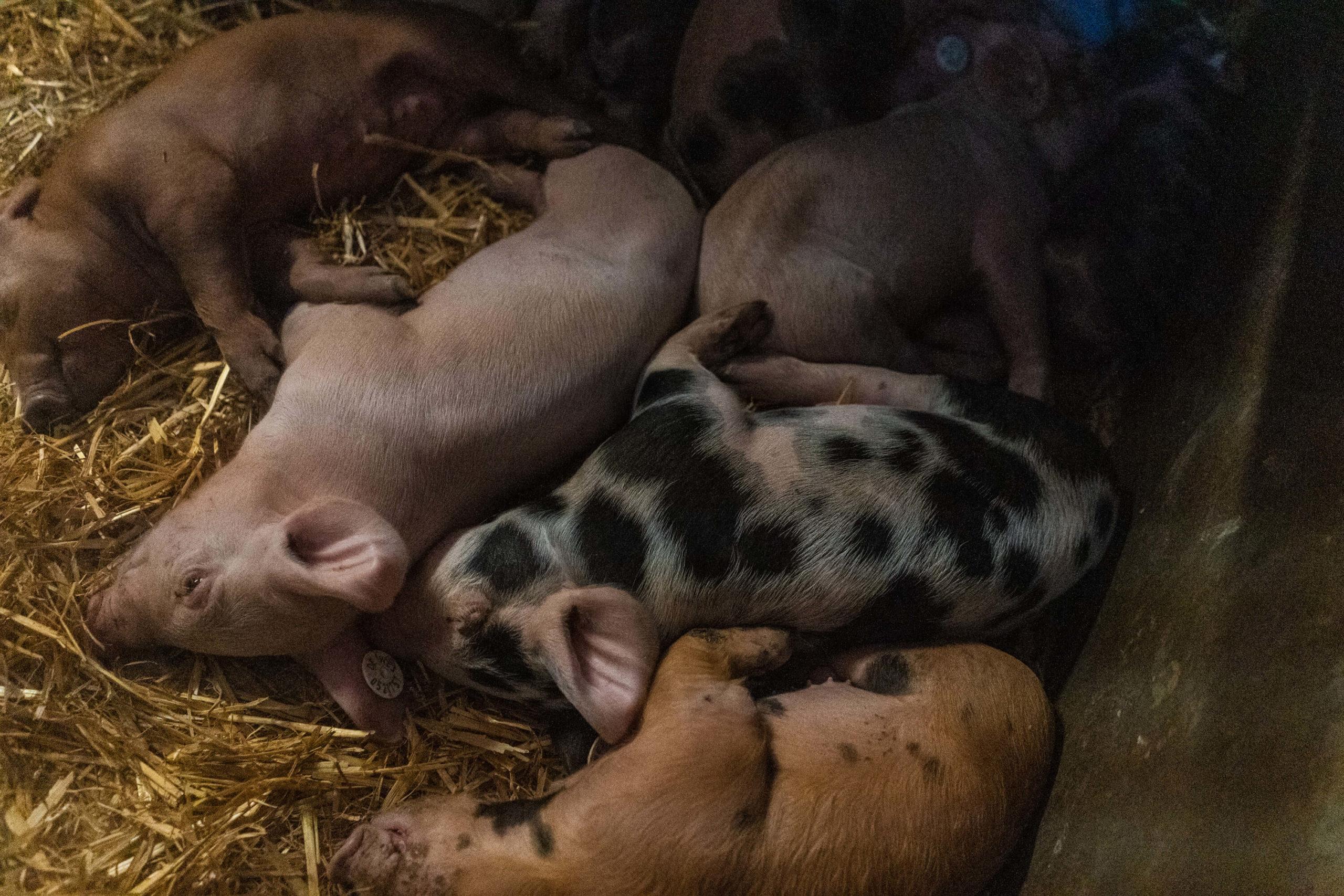 Ferkelnest | Niederrheiner Strohschwein